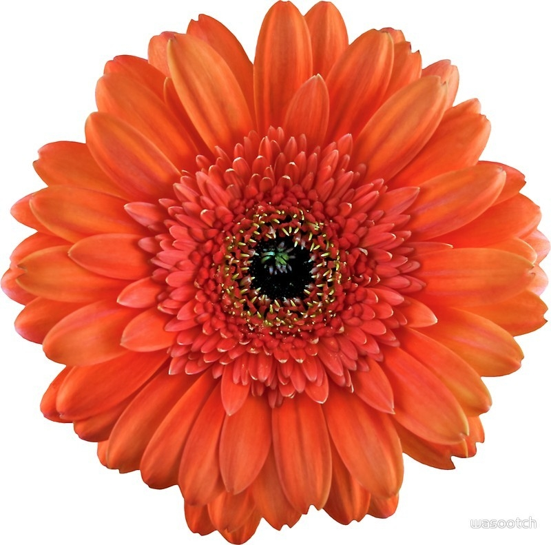 "Orange Gerbera Daisy Flower Floral Sticker"" Stickers By Wasootch with regard to Daisy Flower Stickers 28289"
