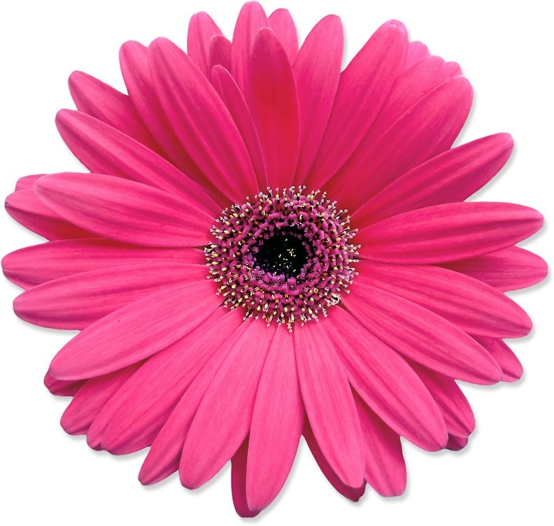 "Pink Gerbera Gerber Daisy Flower Stickers"" Stickers By Wasootch inside Daisy Flower Stickers 28289"