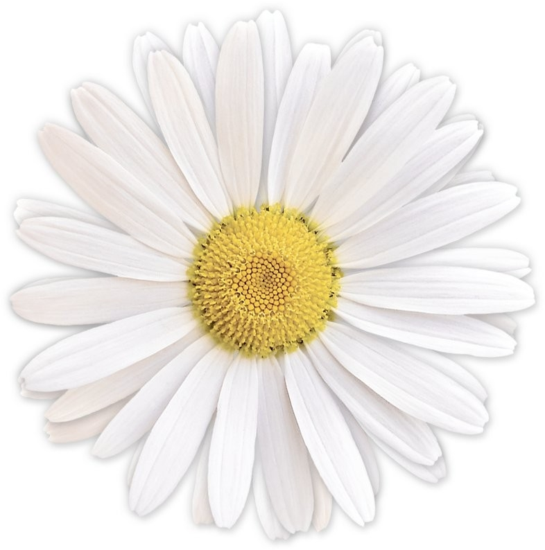 "White Shasta Daisy Flower Floral Sticker"" Stickers By Wasootch for Daisy Flower Stickers 28289"