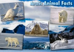 Arctic Animals List With Pictures, Facts & Information within Arctic Animals List