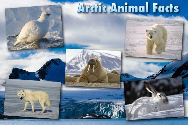 Arctic Animals List With Pictures, Facts & Information within Arctic Animals List 36861