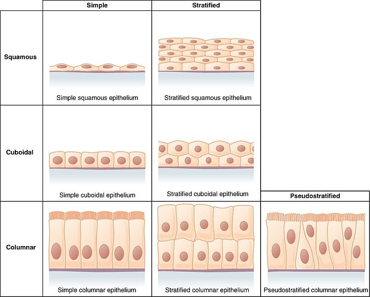 Epithelial Tissue - Definition, Types, Function & Examples Of with Examples Of Epithelial Tissue 59532