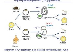 Exploring Derivation Of Germ Cells From Pluripotent Stem Cells - Ppt with Germ Cell Definition