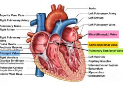 Heart Valves. Function, Purpose And How Many Heart Valves In Your Heart pertaining to How Many Valves Are In The Heart