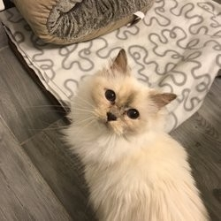 Helping Persian Cats - 15 Photos & 39 Reviews - Animal Shelters pertaining to Helping Persian Cats 47895
