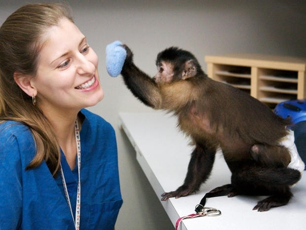 Monkeys Lend Helping Hand To Disabled - Photo 1 - Pictures - Cbs News throughout Helping Hands Monkeys 46452
