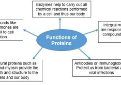 Protein Synthesis: Definition & Purpose | Study inside Protein Synthesis Definition